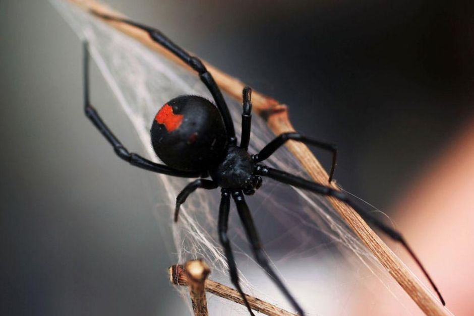 What is the treatment of red back spider bites?